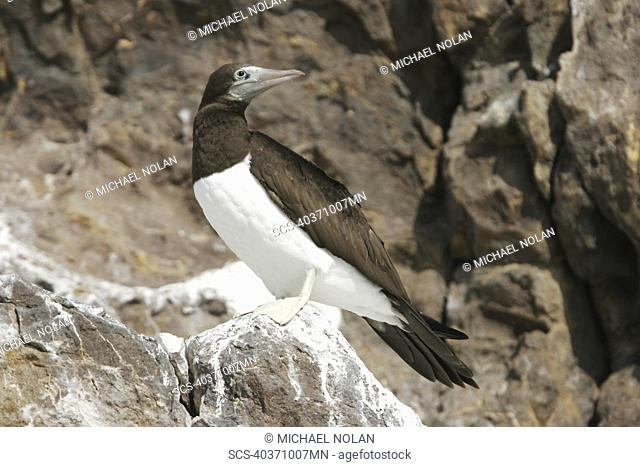 Adult Brown Booby Sula leucogaster in the Gulf of California Sea of Cortez, Mexico