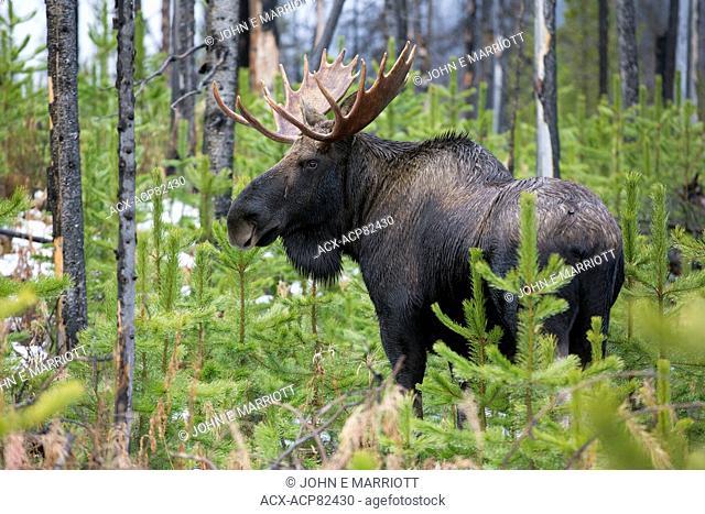 Bull moose in the Canadian Rockies