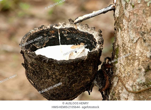 Thailand, harvesting of latex rubber (Hevea brasiliensis)