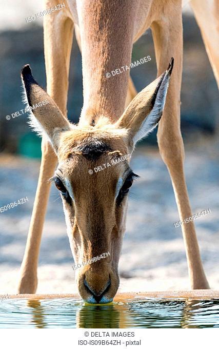 Portrait of Impala (Aepyceros melampus), drinking at waterhole, Kalahari, Botswana, Africa