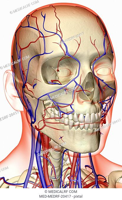 The blood supply of the head and neck