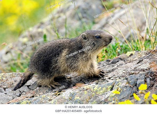 França, Marmota alpina, Marmota Marmota, young