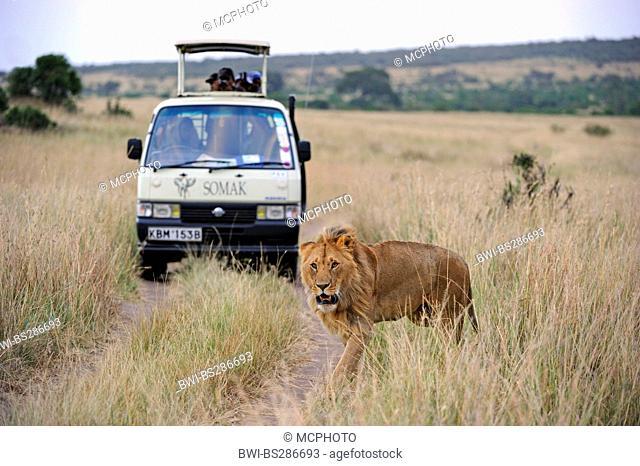 lion (Panthera leo), lion with safari car in the background, Kenya, Masai Mara National Park