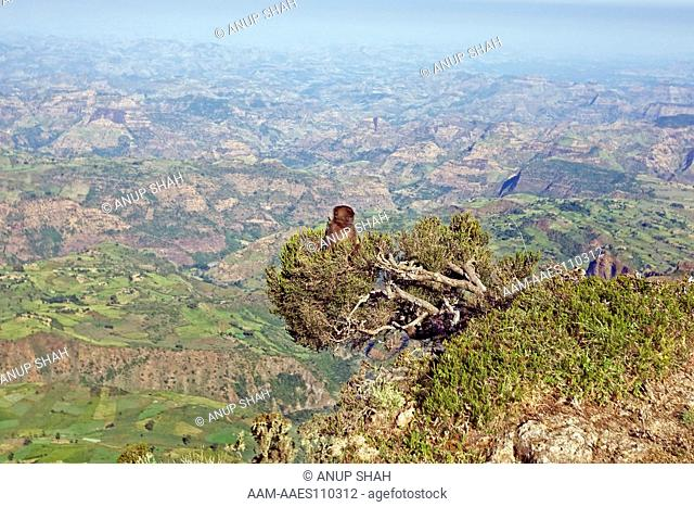 Gelada juvenile(Theropithecus gelada) sitting in a tree overhanging a drop of several thousand feet. Simien Mountains National Park, Ethiopia