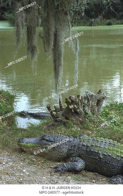 American Alligator Alligator mississippiensis, resting on riverbank, Florida