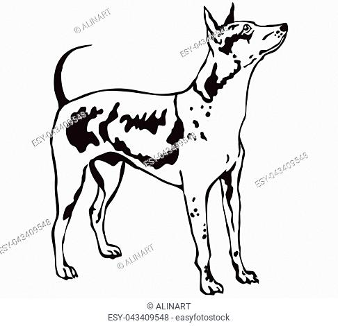 Decorative contour portrait of standing in profile American Hairless Terrier, vector isolated illustration in black color on white background