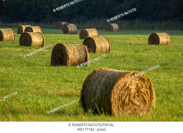 Hay bales on the field after harvest in morning. Freshly rolled hay bales on field in Latvia