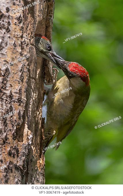 European green woodpecker feeds its young, Trentino Alto-Adige, Italy