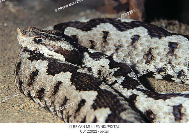 Long-nosed Viper (Vipera ammodytes)