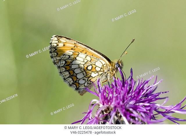 Heath Fritillary, Melitaea athalia, Orange fritillary with marbled underwings found in tall grasslands and clearings. Flies June-August