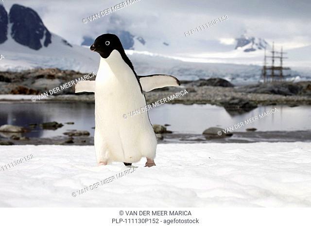 Adélie Penguin Pygoscelis adeliae and sailing ship, Petermann Island, Antarctica