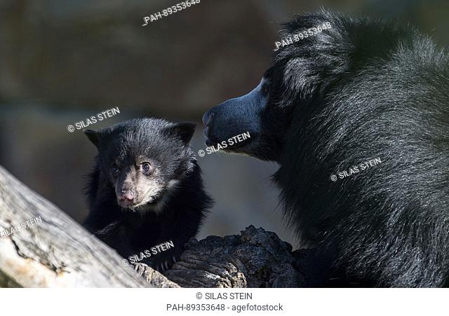 The little sloth bear can be seen with its mother Kaveri for the first time at the zoo in Berlin, Germany, 27 March 2017