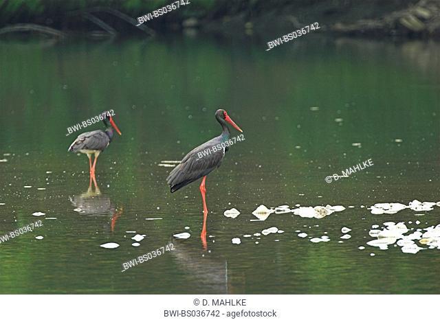 black stork (Ciconia nigra), two animals searching for food, Bulgaria, Ost-Rodopen, Nature Reserve Momina Skala, Fluss Arda bei Madzarovo