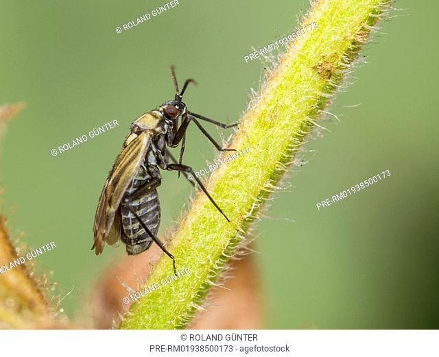Macrotylus herrichi, female, on sage / Salbei-Weichwanze, Macrotylus herrichi, Weibchen, auf Salbei