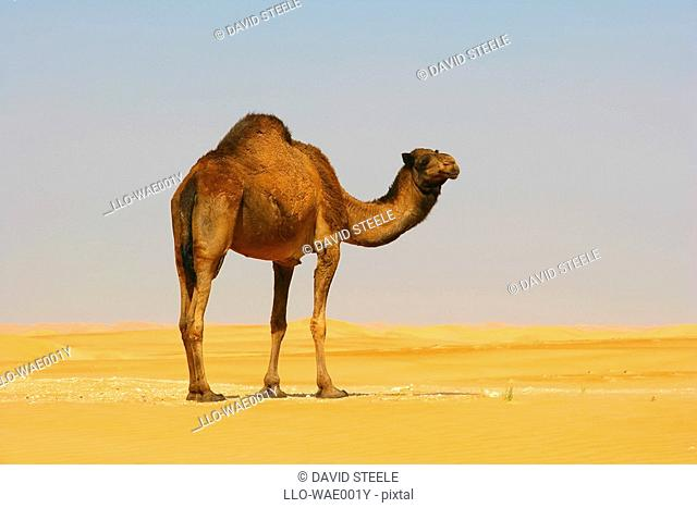 A Dromedary Arabian Camel Camelus dromedarius Standing in the Desert  Rub al-Khali Empty Quarter, Middle East