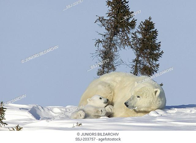 Polar Bear (Ursus maritimus, Thalarctos maritimus). Playful cub next to its resting mother. Wapusk National Park, Canada