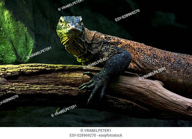 Portrait of a Komodo dragon (Varanus komodoensis). Animal theme