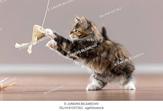 American Longhair, Maine Coon. Kitten playing with a teaser. Germany
