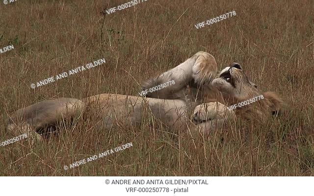 Lion male (Panthera leo) rolling on his back, cleaning paw