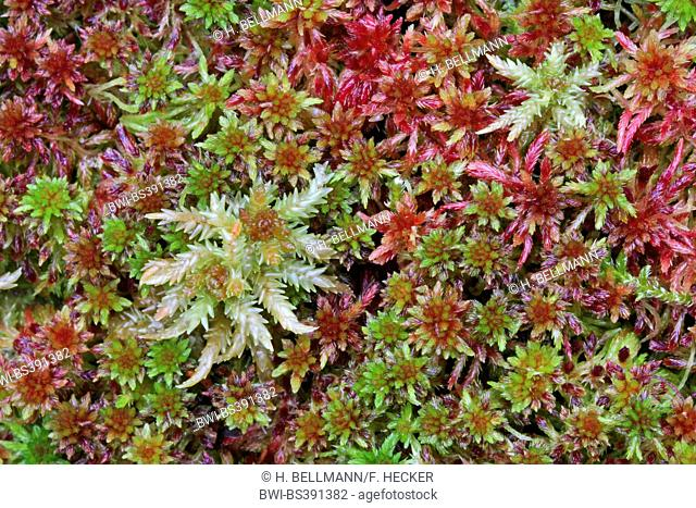 peat moss (Sphagnum spec.), Germany