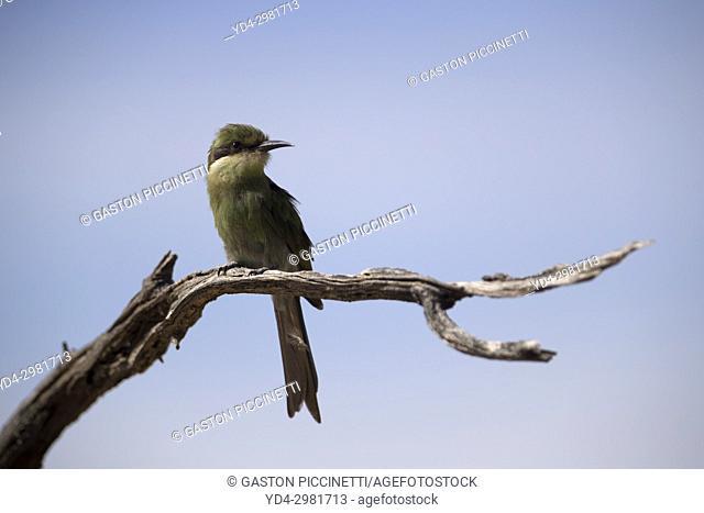 Little bee-eater ( Merops pusillus Ground), Kgalagadi Transfrontier Park, Kalahari desert, South Africa/Botswana