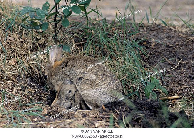 European Rabbit (Oryctolagus cuniculus) mother nursing her young, Europe