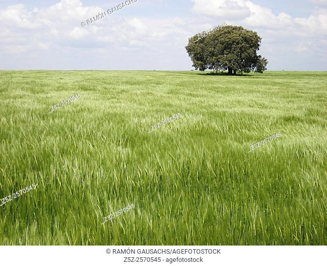 Green wheat field, Huesca province, Aragón, Huesca, Spain