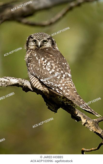 Northern Hawk Owl, Surnia ulula, perched on a tree branch in Lillooet, British Columbia, Canada