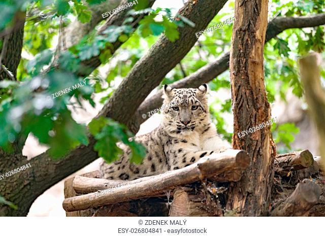side portrait of big famous cat, snow leopard - Irbis, Uncia uncia