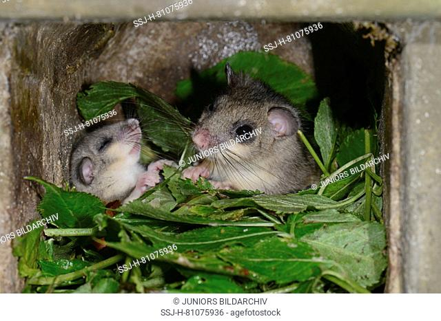 Edible Dormouse (Glis glis). Parent and juvenile in nesting box during the day. Parent animal has covered the cub a little bit with foliage (only a lullaby is...