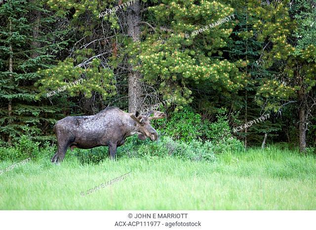 Bull Moose, Alces alces, British Columbia, Canada