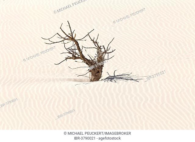 Dead tree in the sand dunes of the desert Deserto Viana, island of Boa Vista, Cape Verde, Republic of Cabo Verde