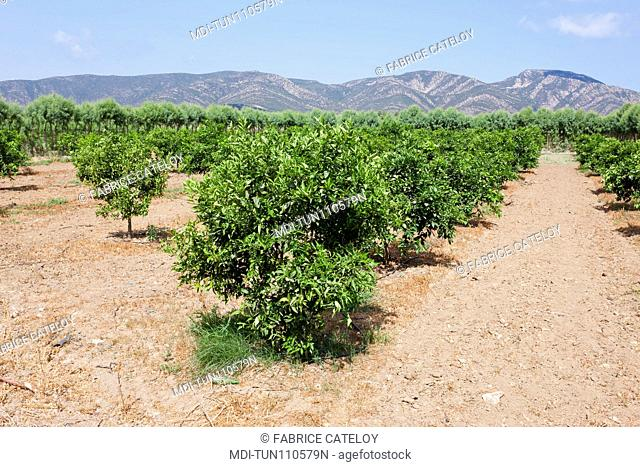 Tunisia - Cap Bon - Between Soliman and Korbous - Fields of citrus fruits