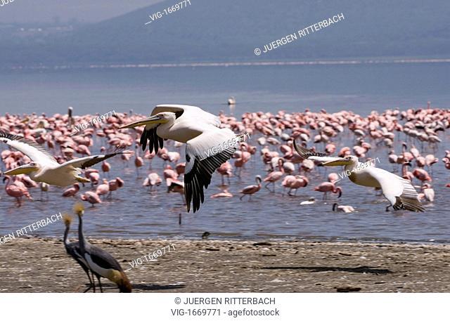great white Pelicanus, flying, PELECANUS ONOCROTALUS,NAKURU NATIONAL PARK, KENYA, EAST Africa - NAKURU NATIONAL PARK, KENYA, 24/09/2008