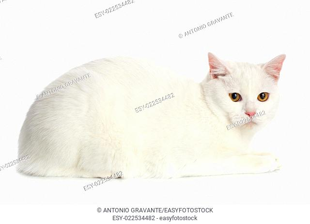 White Cat with yellow eyes on white background