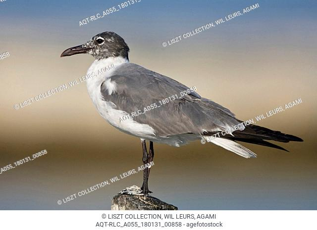 Laughing Gull moulting into breeding plumage Mexico, Laughing Gull, Leucophaeus atricilla