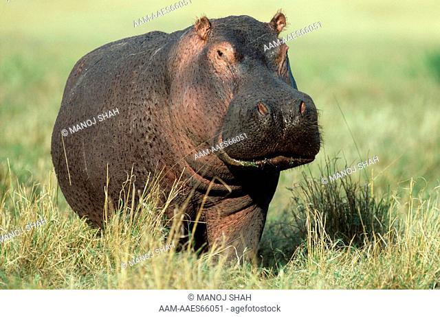 Hippopotamus (Hippopotamus amphibius) Mara, Kenya