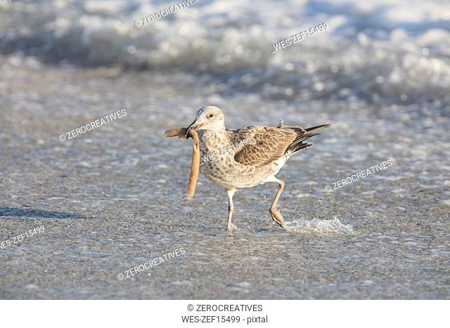 Africa, South Africa, Cape Town, Kelp gull with food in beak