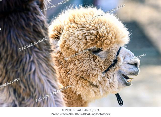 14 April 2019, Lower Saxony, Drantum: A look at the head of an alpaca living on the farm of Christina and Andreas Klövekorn
