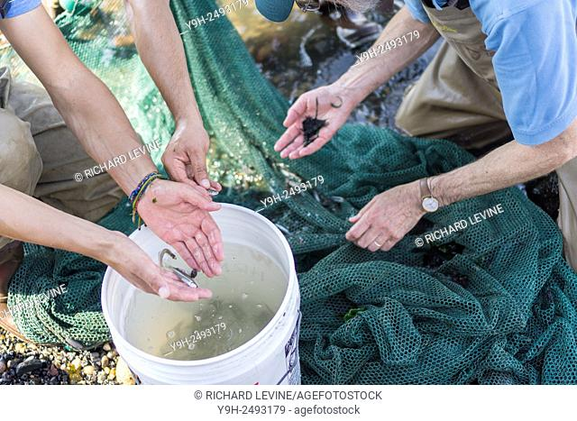 Using a seine, workers from the NYS Dept. of Environmental Conservation collect a sample of fish at the Brooklyn Bridge Park site in the Great Hudson River...