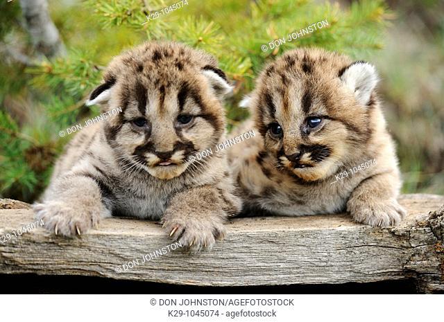Mountain lion Felis concolor kittens