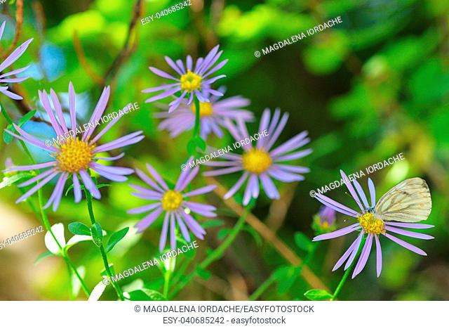 Aster hispidus flowers and white butterfly