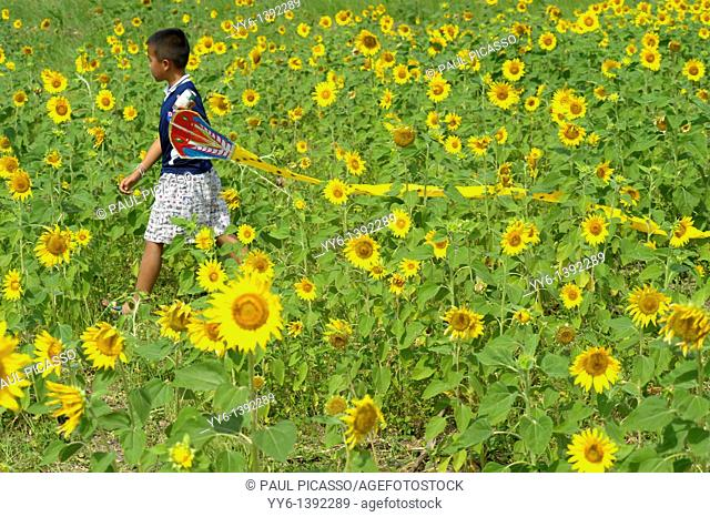 young boy with his kite , sunflower fields of lopburi and saraburi, central Thailand