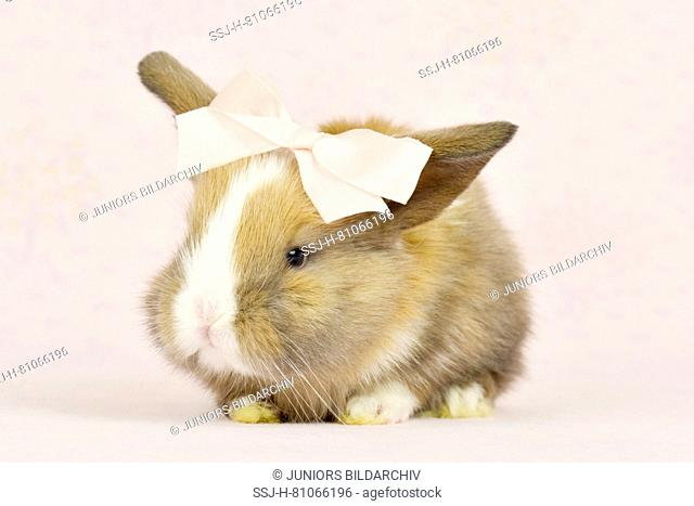Dwarf Lop-eared Rabbit. Young (19 days old) wearing a pink bow. Studio picture. Germany