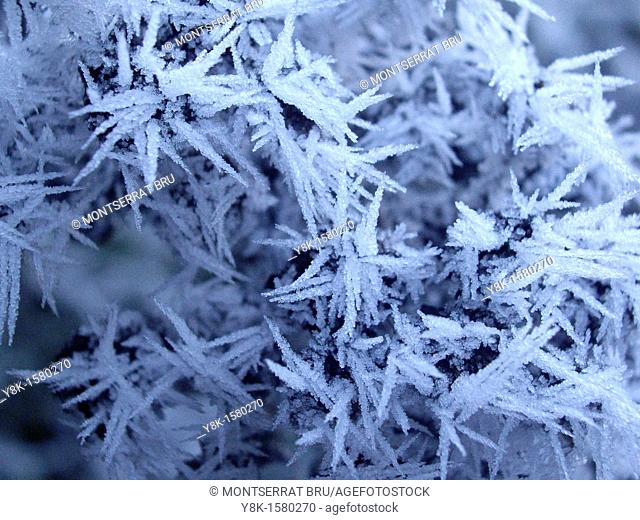 Frozen conifer needles