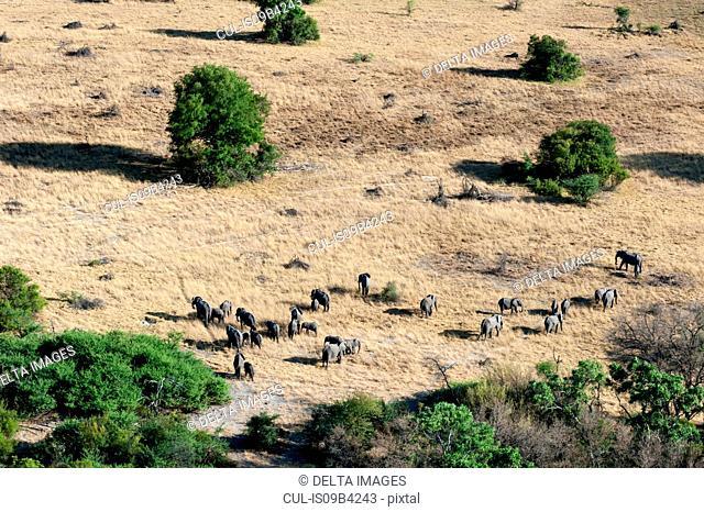 Aerial view of african elephant (Loxodonta africana) herd in grasslands, Okavango delta, Botswana