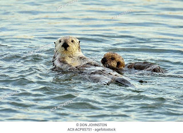Sea otter (Enhydra lutris) Mother and pup rafting in Morro Bay Estuary, Morro Bay, California, USA
