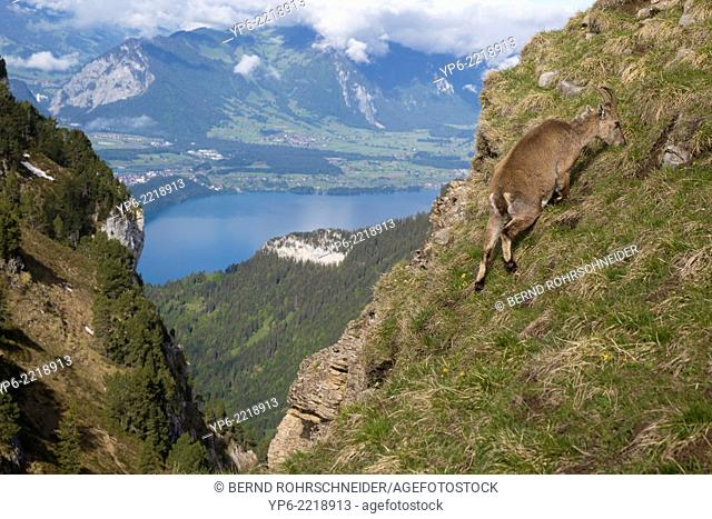 female Alpine Ibex (Capra ibex) grazing on slope, Niederhorn, Bernese Oberland, Switzerland