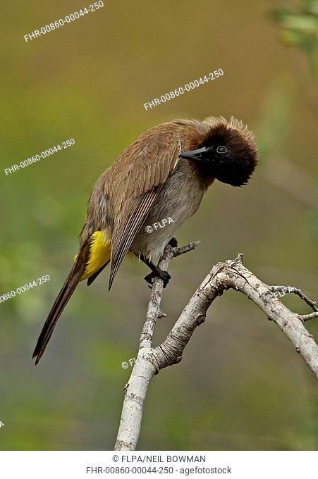 Dark-capped Bulbul (Pycnonotus barbatus layardi) adult, preening wing feathers, perched on twig, Kruger N.P., Great Limpopo Transfrontier Park, South Africa