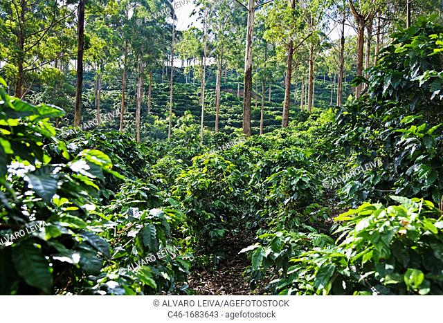 Coffee plantation near Turrialba and Cartago, Costa Rica